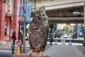 [鳥]フクロウ@池袋(2020-02-23 11:36)