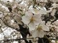 [花][桜](2020-03-30 14:17)