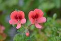 [園芸][植物][花]ペラルゴニウム・エンジェルアイズオレンジ(2020-04-07)