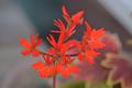 [園芸][植物][花]バンクーバー・センテニアル(2020-04-07)
