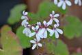 [園芸][植物][花]ナツメグ・ゼラニウム(2020-04-07)