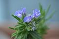 [園芸][植物][花]ローズマリー(2020-04-07)