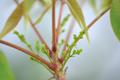 [園芸][植物][花]ハゼノキ(2020-04-07)