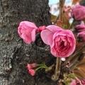 [桜](2020-04-08 14:24)