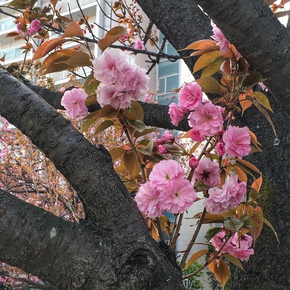 八重桜(2020-04-08)