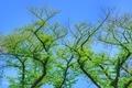 [木][新緑]染井墓地(2020-04-19 12:04)