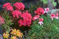 [園芸][植物][花]エンジェルアイズ・オレンジとカランコエ(2020-04-14)