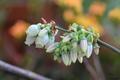 [園芸][植物][花]ブルーベリー(2020-04-14)