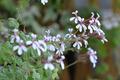 [園芸][植物][花]ナツメグ・ゼラニウム(2020-04-14)