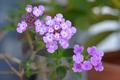 [園芸][植物][花]コバノランタナ(2020-04-14)