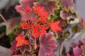 [園芸][植物][花]モミジ葉ゼラニウム(2020-04-14)