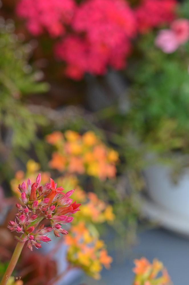 3色咲きそろったカランコエ