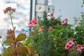 [園芸][植物][花]カランコエとエンジェルアイズ・オレンジ(2020-04-14)