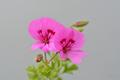 [園芸][植物][花]シナモン・ゼラニウム(2020-04-22)