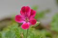[園芸][植物][花]クロリンダ・ゼラニウム(2020-04-22)