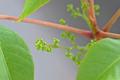 [園芸][植物][花]ハゼノキ(2020-04-22)