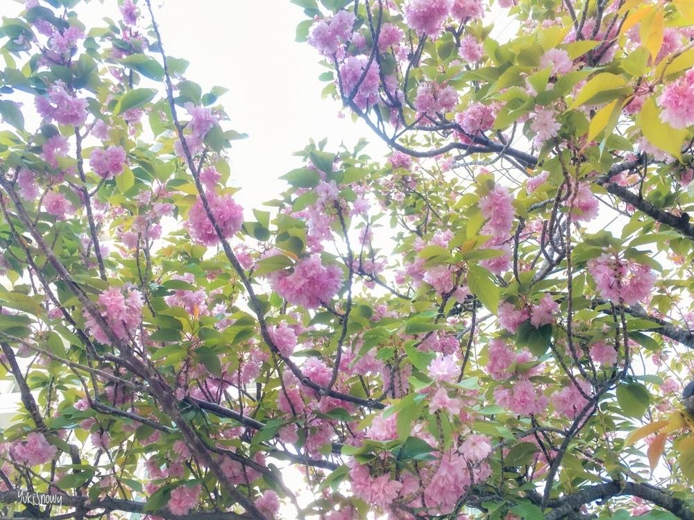 八重桜(2020-04-24 14:22)