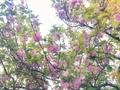 [花][空][雲][東京][朝]八重桜(2020-04-24 14:22)
