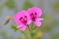 [園芸][植物][花]ナツメグ・ゼラニウム(2020-04-27)