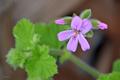 [園芸][植物][花]スノーフレイク・ゼラニウム(2020-04-27)
