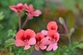 [園芸][植物][花]ペラルゴニウム・エンジェルアイズ・オレンジ(2020-04-27)