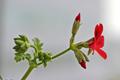 [園芸][植物][花]シェルブランド・ゼラニウム(2020-04-27)
