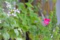 [園芸][植物][花]クロリンダ・ゼラニウム(2020-04-27)