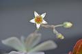 [園芸][植物][花]朧月(2020-04-27)