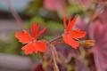 [園芸][植物][花]バンクーバー・センテニアル(2020-04-27)