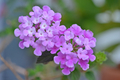 [園芸][植物][花]コバノランタナ(2020-04-27)