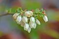 [園芸][植物][花]ブルーベリー(2020-04-27)