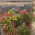 [花][園芸](2020-04-30 05:54)