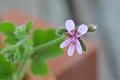 [園芸][植物][花]チョコレートミント・ゼラニウム(2020-05-01)