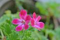 [園芸][植物][花]クロリンダ・ゼラニウム(2020-05-01)