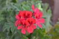[園芸][植物][花]シェルブランド・ゼラニウム(2020-05-01)