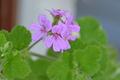 [園芸][植物][花]スノーフレイク・ゼラニウム(2020-05-01)