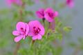[園芸][植物][花]シナモン・ゼラニウム(2020-05-01)