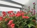 [園芸][植物][花](2020-05-04 08:20)