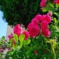 [花]薔薇の季節(2020-05-17 15:58)