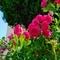 薔薇の季節(2020-05-17 15:58)