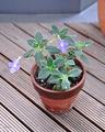 [花]ストレプトカーパス(2007-06-14)