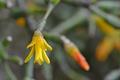 [園芸][植物][花]リプサリス(2020-05-25)
