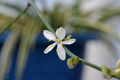 [園芸][植物][花]オイヅルラン(2020-05-25)