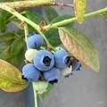 [園芸][植物][実]ブルーベリー(2020-06-10)