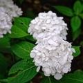 [花][植物]紫陽花(山紫陽花 紅てまり)@六義園(2020-06-06)
