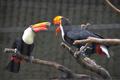 [鳥]オオオオハシ(2012-07-21)