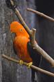 [鳥]アンデスイワドリ(2012-07-21)