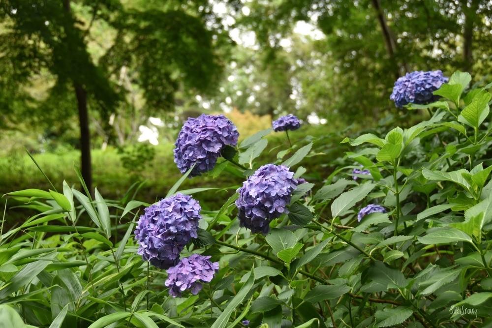 紫陽花@六義園(2020-06-25)