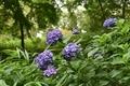 [花]紫陽花@六義園(2020-06-25)