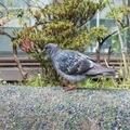 [野鳥]@染井吉野桜記念公園(2020-04-12)